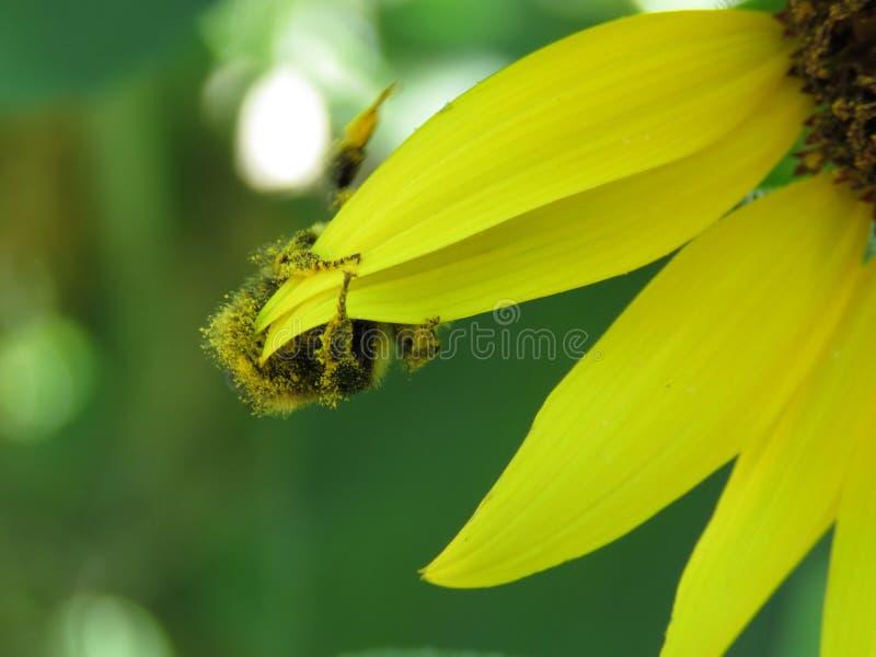 Hummel, die auf Sonnenblumenblumenblätter hängt stockbilder