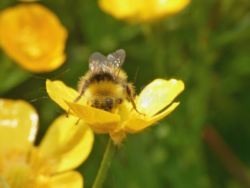 Hummel, die Blütenstaub - Makroschuß sammelt lizenzfreie stockfotos