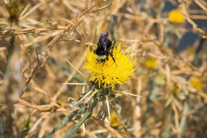 Hummel, die eine gelbe Sterndistel bestäubt (Centaurea solstitialis) blühend im Sommer auf der Küstenlinie des Südens San Francis lizenzfreie stockfotos
