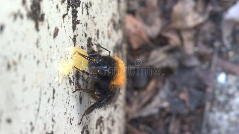 Hummel, die Honig isst lizenzfreies stockfoto