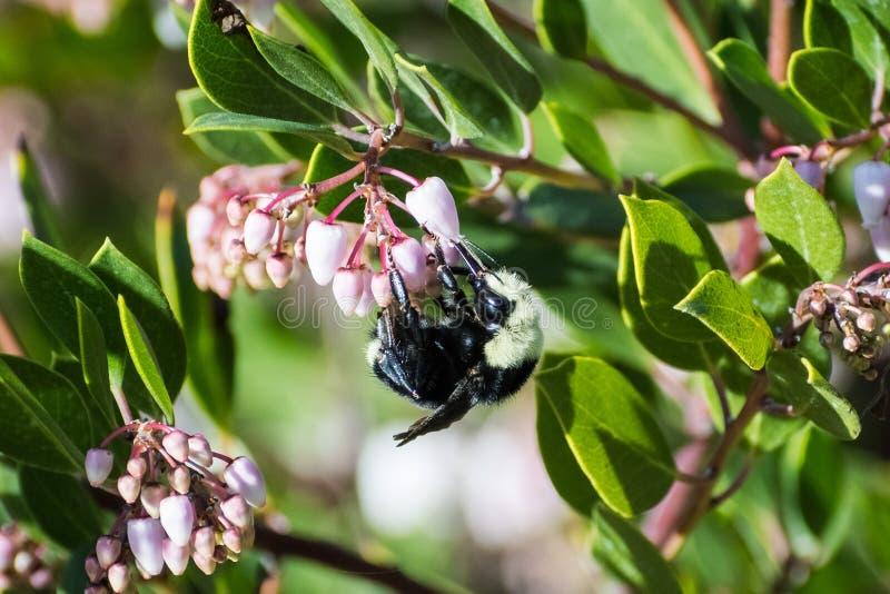Hummel, die Manzanita-Baum-Rosablumen bestäubt lizenzfreie stockfotos