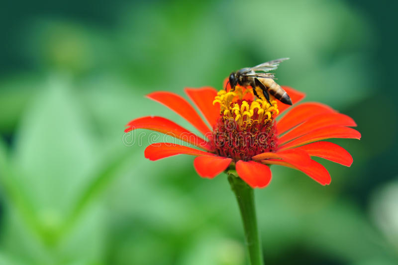 Hummel, die Polen von Zinnia Elegans-Blume erfasst lizenzfreie stockfotografie