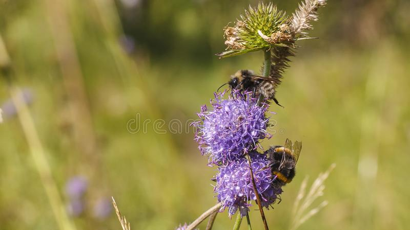 Hummel nahe Blume stockfotos