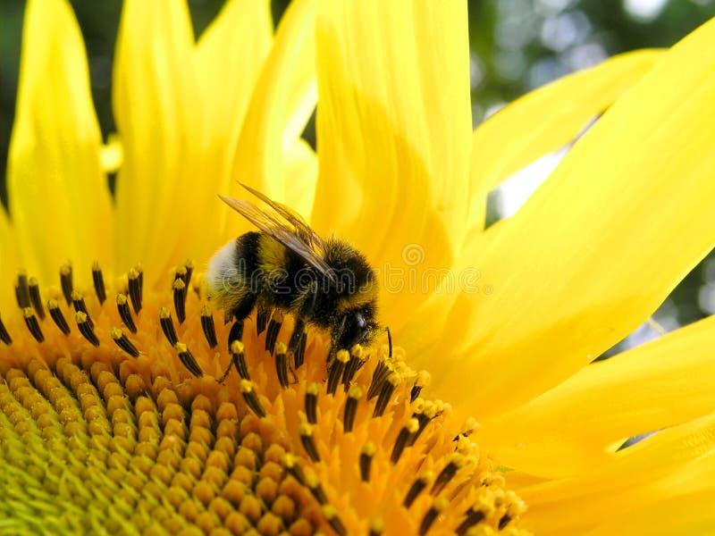 Hummel und Sonnenblume lizenzfreie stockfotos