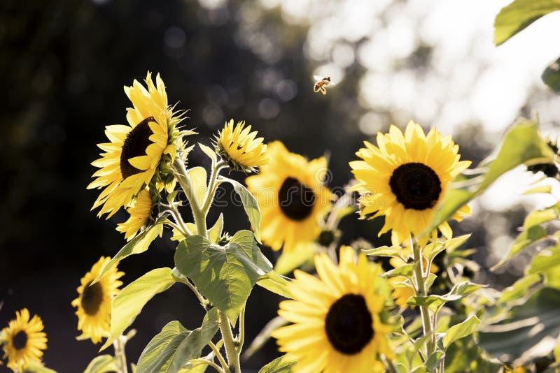 Hummel und Sonnenblumen im Sommer lizenzfreies stockfoto