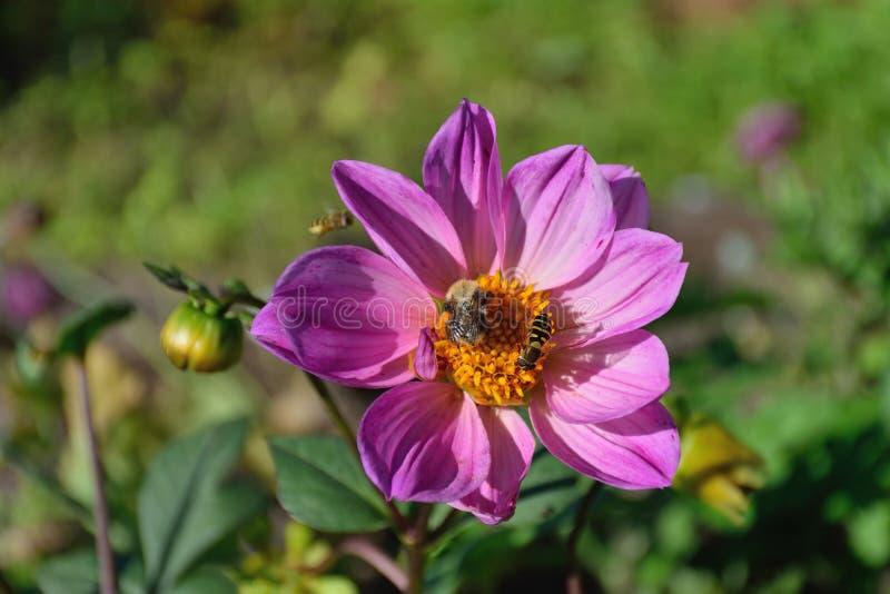 Hummel und Wespe auf einer Blume großen purpurroten Dahlie lizenzfreie stockfotografie