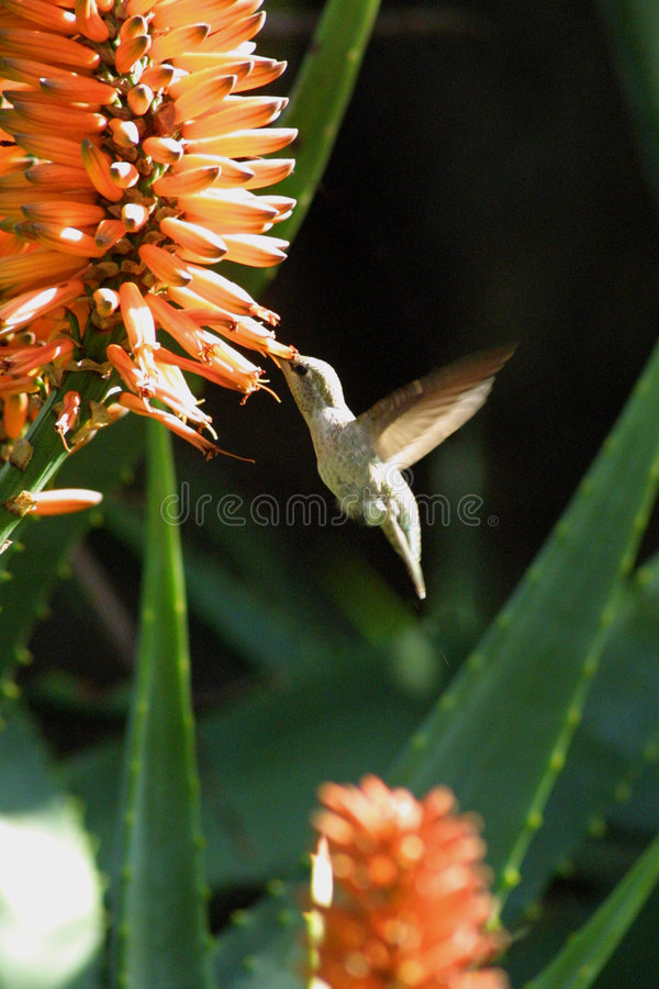 Hummer photographie stock