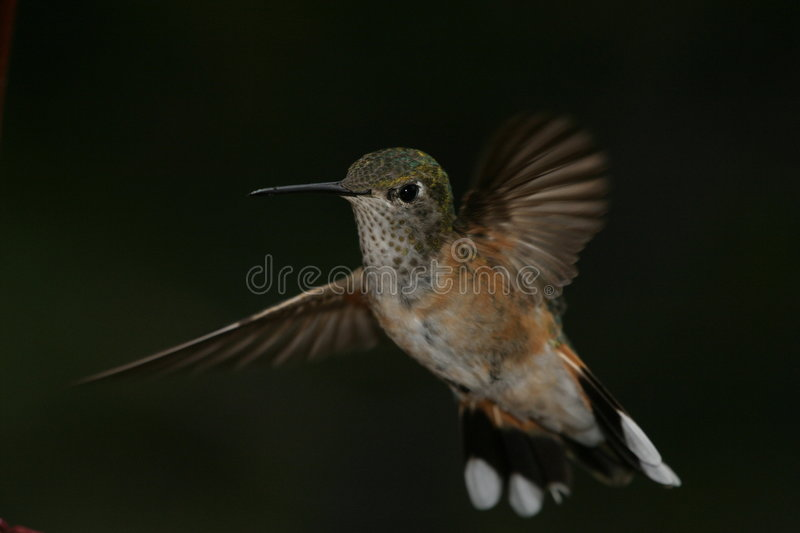 Download Hummer figé image stock. Image du arrêt, congelé, animal - 54513