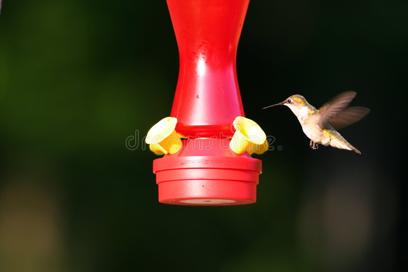 Hummer Wings Back stock images