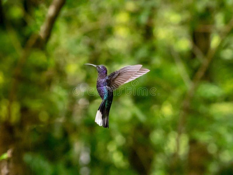 Humminbird en Monteverde imagenes de archivo