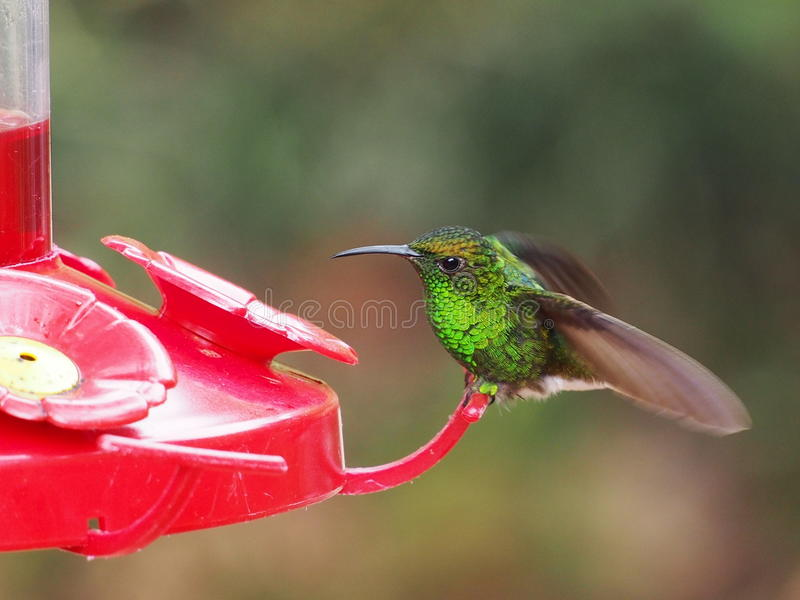 Humminbird feeding in Costa Rica stock images