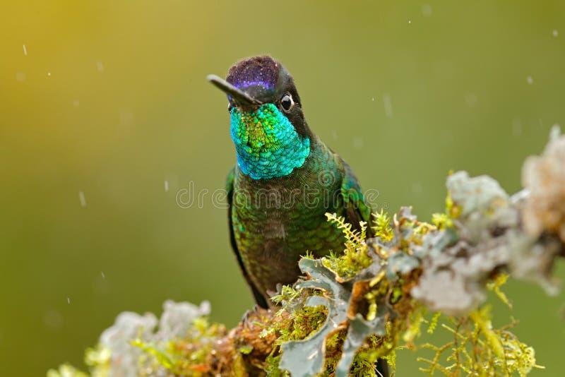 Humminbird i naturskoglivsmiljön Detalj av den skinande glansiga fågeln Storartad kolibri, Eugenes fulgens, trevlig fågel på moss royaltyfria foton