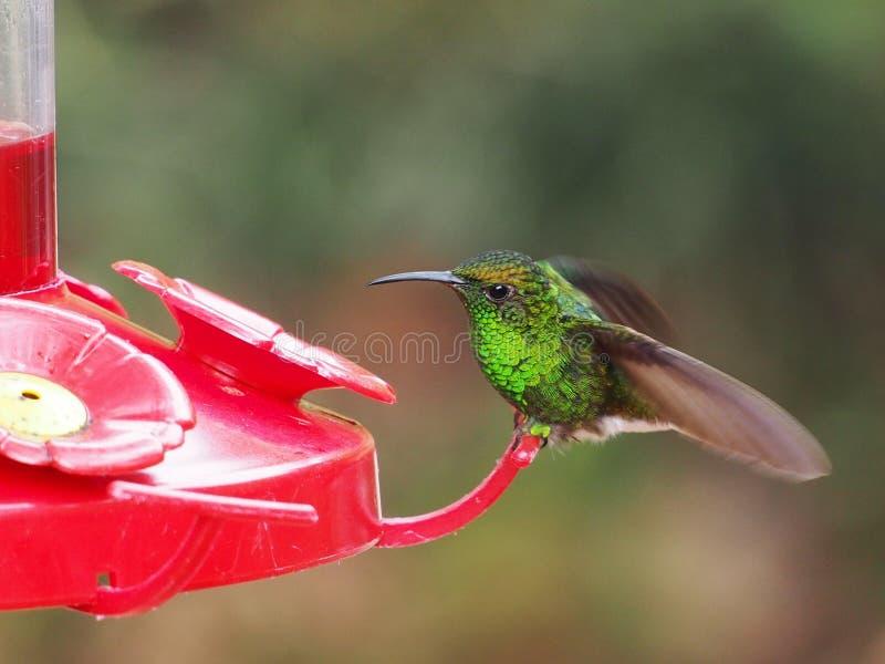 Humminbird karmienie w Costa Rica obrazy stock