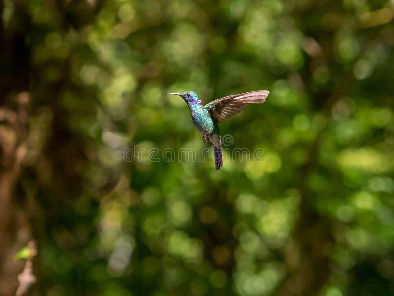 Humminbird in Monteverde royalty free stock images