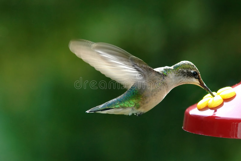 Humming Bird. In summer in fight eating