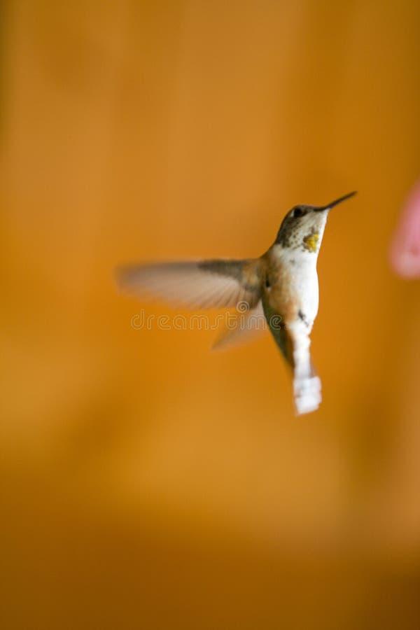 Humming bird. royalty free stock photos