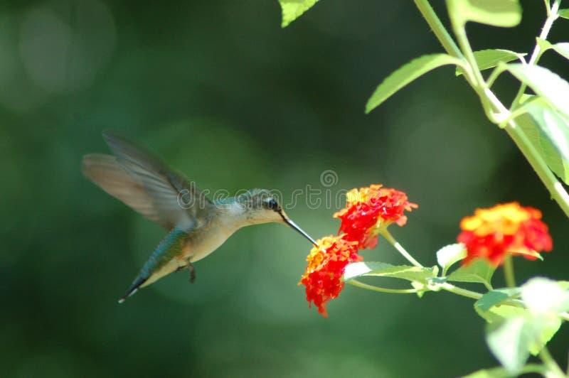 Humming Bird. Takes a nip of nectar