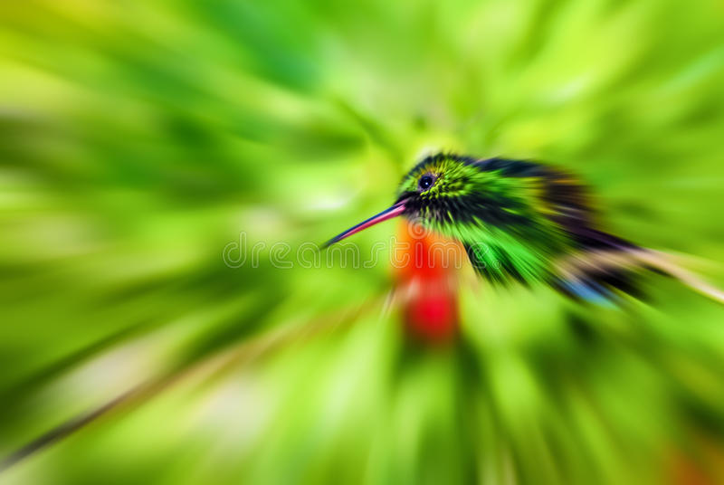 Humming bird artistic zoom blurred effect speed concept motion. The picture creatively captures a Copper-rumped Hummingbird. Perched on a branch royalty free stock photography
