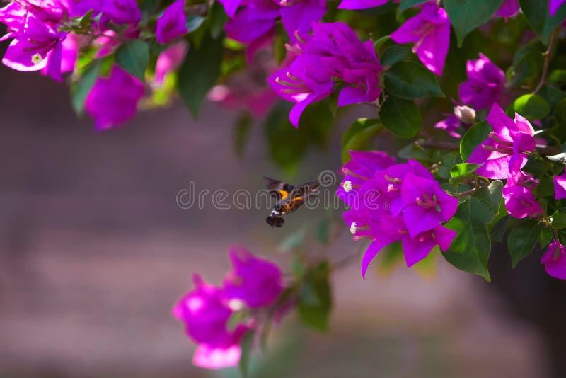 Bougainvillea and hummingbird royalty free stock photo