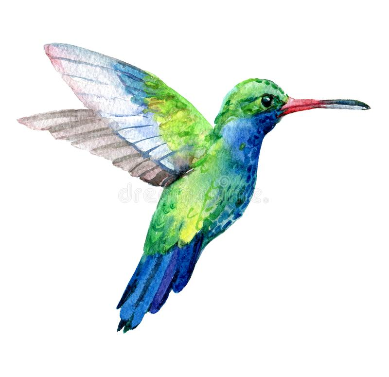 Humming bird, exotic birds isolated on white background, watercolor stock illustration