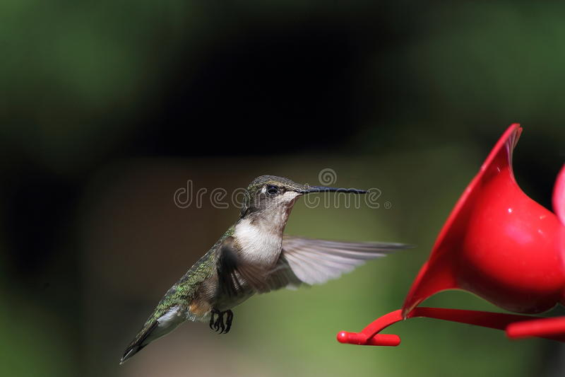 Humming Bird stock images