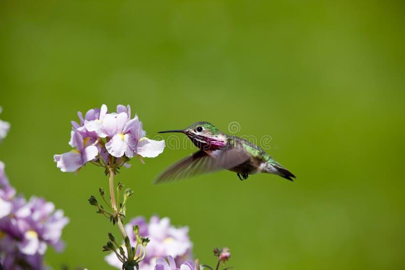 Humming bird with flowers stock photos