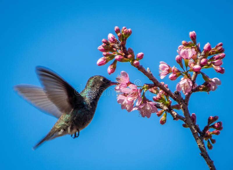 Humming Bird flying and eating. Flying humming bird eating flower nectar in a blue background royalty free stock photo