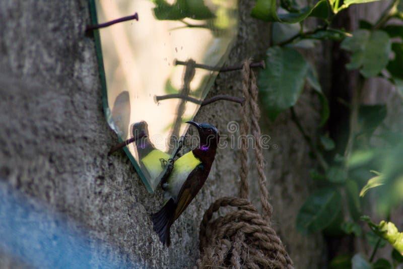 Humming bird looking at itself / Humming bird looking confused royalty free stock photos