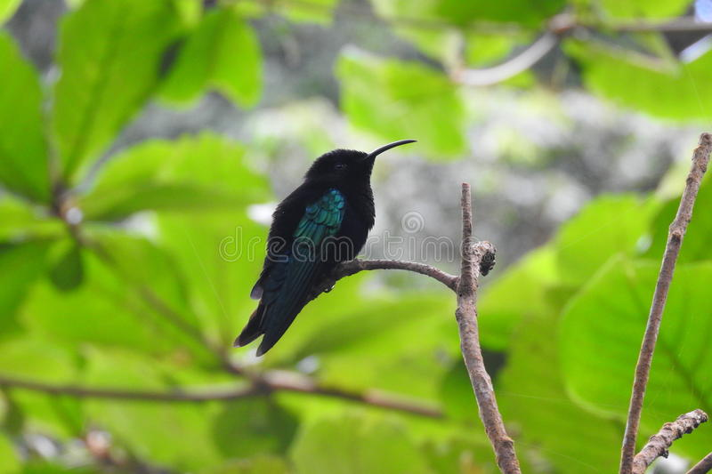 Humming bird in st.lucia December 2016 stock photo