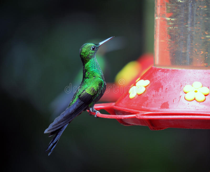 Download Humming Bird about to feed stock photo. Image of green - 28558934