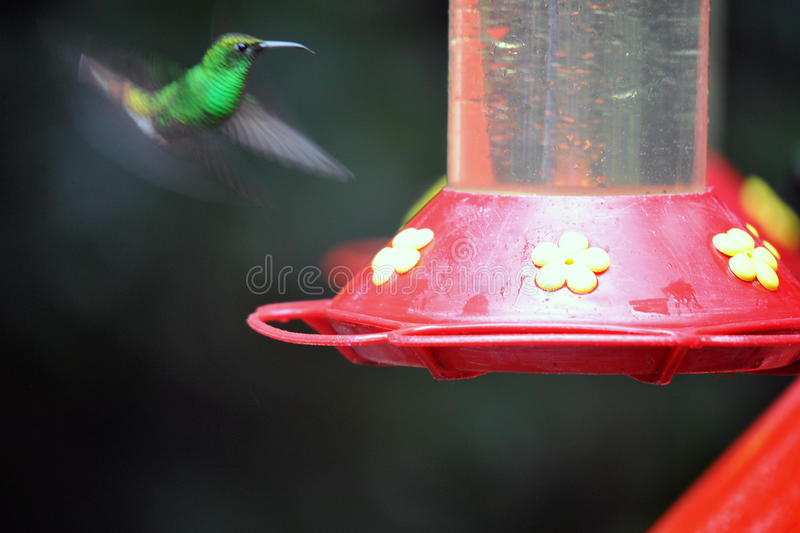 Download Humming Bird about to feed stock image. Image of animal - 28558943