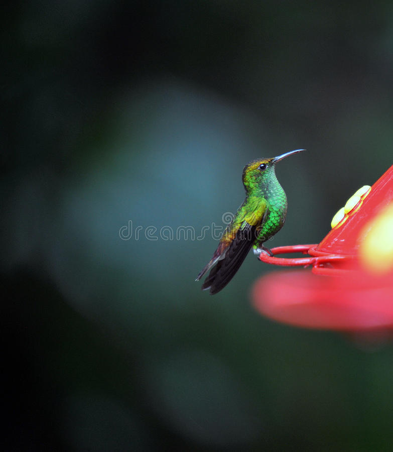 Humming Bird About To Feed Royalty Free Stock Photography