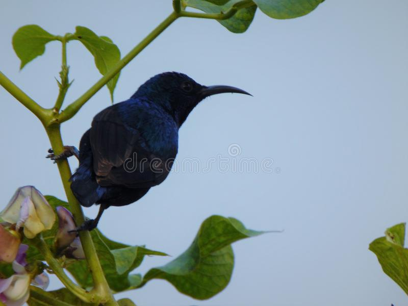 Humming birds of dark blue stock photography