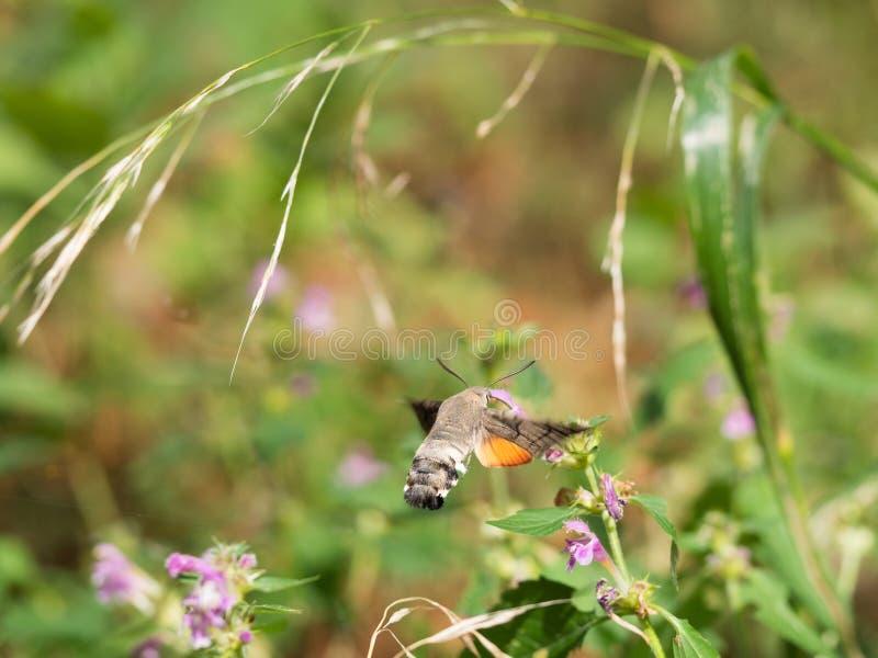 Hummingbird ćma Macroglossum stellatarumsucking nektar od kwiatu fotografia royalty free