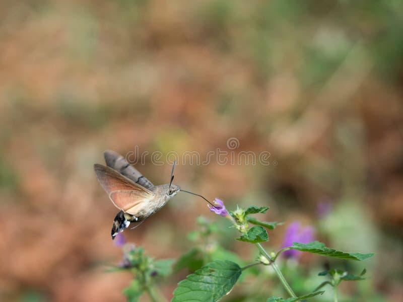 Hummingbird ćma Macroglossum stellatarumsucking nektar od kwiatu obrazy stock