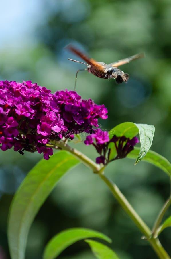 Hummingbird ćma żywieniowy nektar od Buddleia kwiatu Zbliżenie Macroglossum stellatarum obrazy royalty free