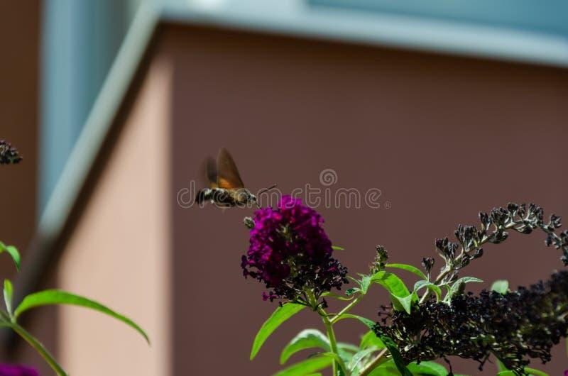 Hummingbird ćma żywieniowy nektar od Buddleia kwiatu Zbliżenie Macroglossum stellatarum zdjęcie stock