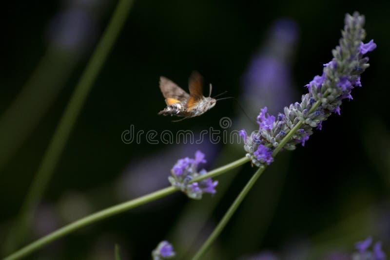 Hummingbird ćma latanie na lawendowym kwiacie obraz stock