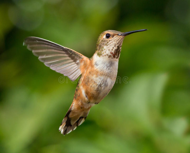 hummingbird полета стоковое фото rf