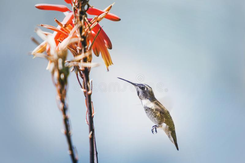 hummingbird fotografia de stock royalty free