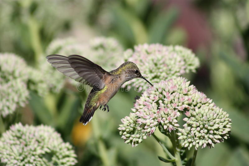 Download Hummingbird stock image. Image of blooms, spectabile - 10614843