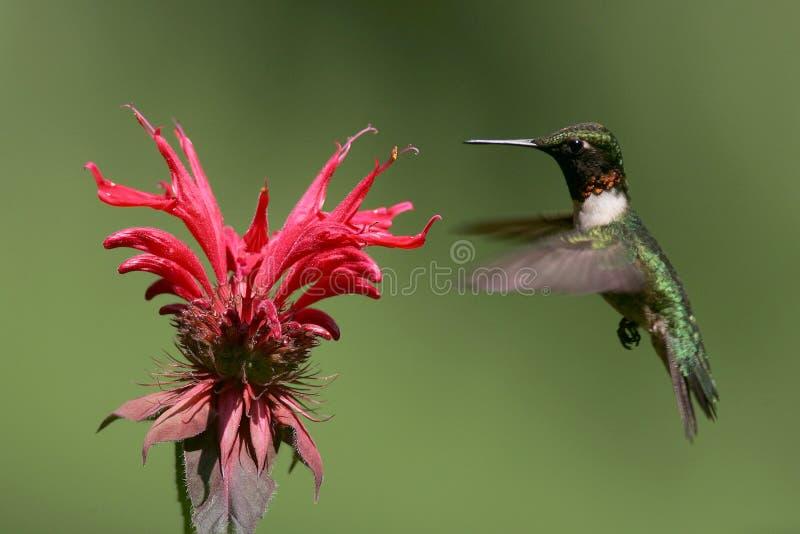 hummingbird fotografering för bildbyråer