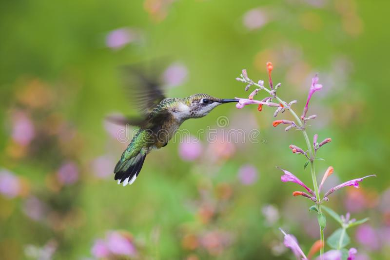 hummingbird obrazy stock