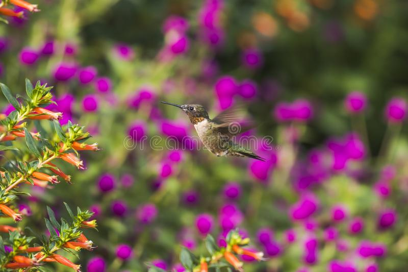 hummingbird obraz royalty free