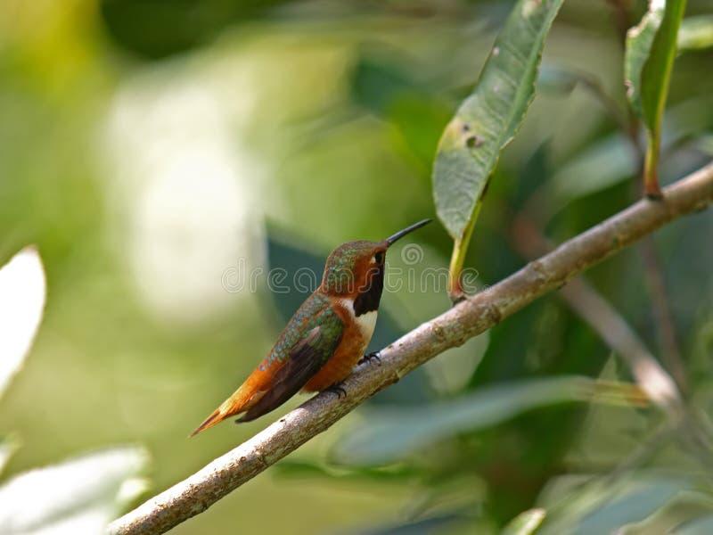 hummingbird obrazy royalty free