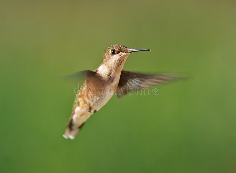 Download Hummingbird stock image. Image of flying, ruby, hovering - 15611753