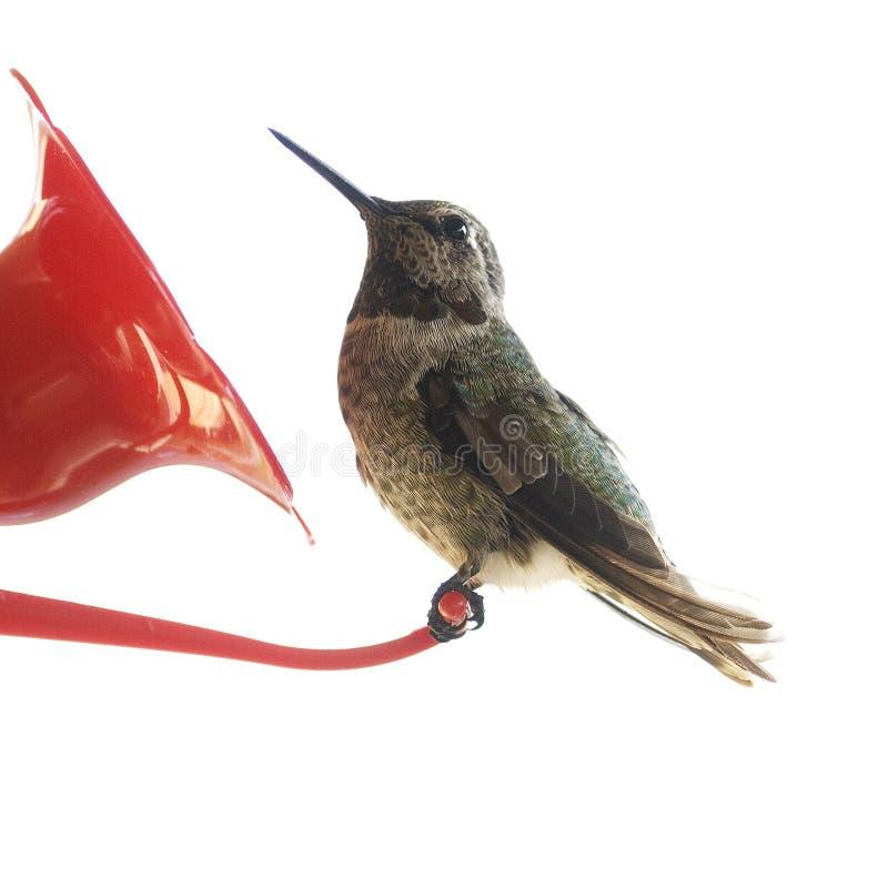 Download Hummingbird stock image. Image of rest, plant, fragile - 17950719