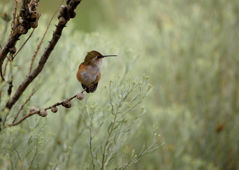 Hummingbird. Southwest broad-tailed hummingbird perching on branch at rest royalty free stock photo