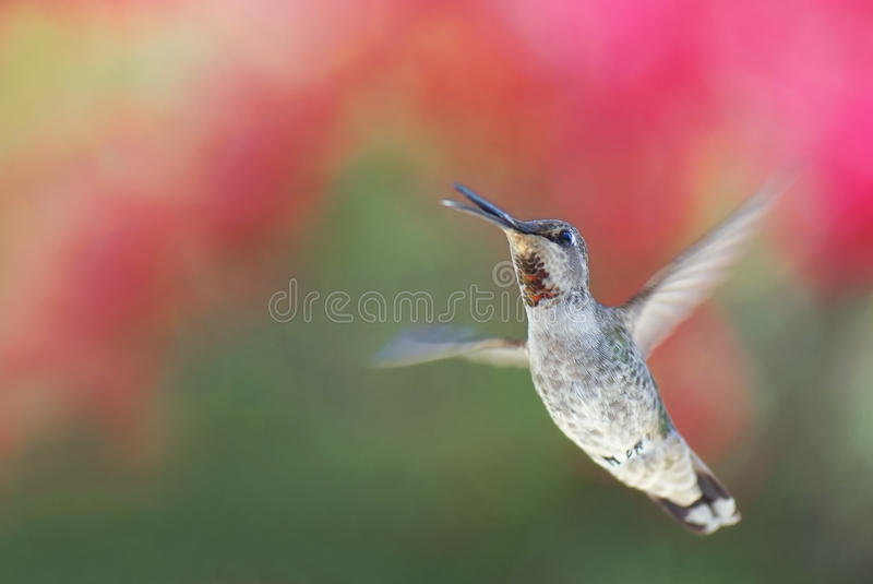 Download Hummingbird stock image. Image of action, pink, feather - 28806609
