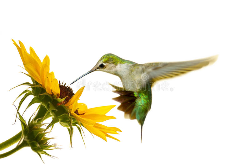 Hummingbird. Ruby throated hummingbird in motion approaching a sunflower with copy space